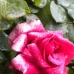 Rose by Rose