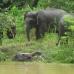 Elephants on the Kinabatangan river2