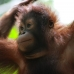 Orangutan we met at Lok Kawi Wildlife Park, Sabah