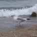 Seagull on Lake Michigan