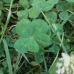 five leafs clover