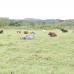 Ugandan Cattle at Njeru