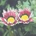 Midday Flower
